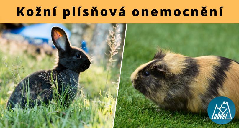 Plísně u králíků a morčat