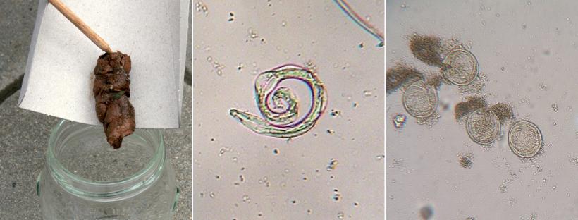 škrkavka psí vajíčka a larva